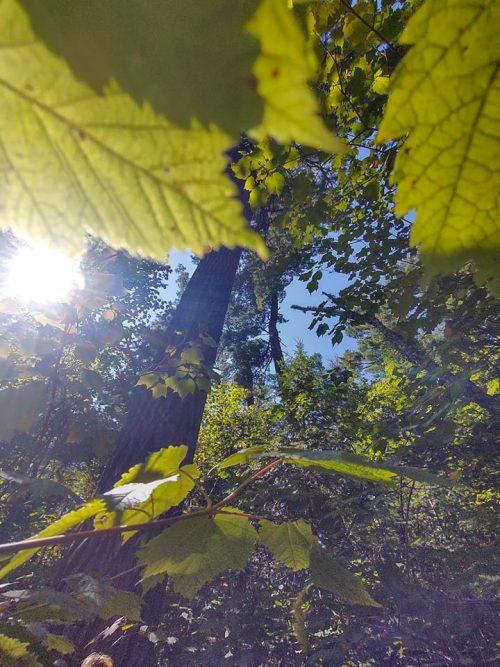 Tall Pine Tree Greenwood