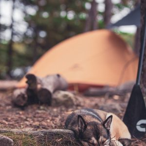 A husky dog sleeps under a tree during a paddling trip into the BWCA