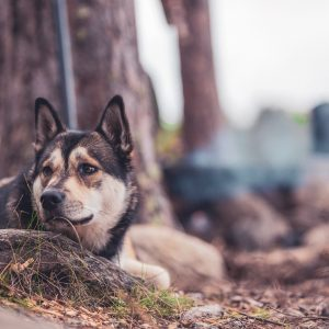 The husky puppy looks at a squirrel